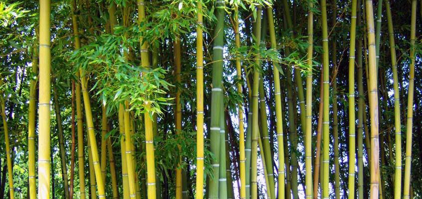 Bild von einem Bambusstrauch
